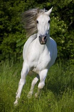 IBLPSA04415934 PRE, Pura Raza Espanola, Andalusian horse, gallops in tall grass, North Tyrol, Austria, Europe