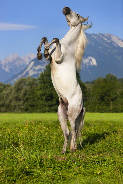 IBLPSA04415940 PRE, Pura Raza Espanola, Andalusian horse, rises, mountain backdrop, North Tyrol, Austria, Europe