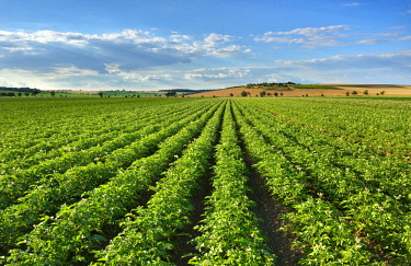 IBLAVI04716205 Blossoming potato field in summer, Burgenlandkreis, Saxony-Anhalt, Germany, Europe