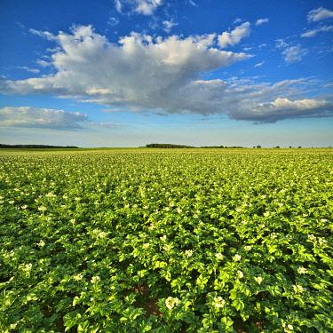 IBLAVI04716206 Blossoming potato field in summer, Burgenlandkreis, Saxony-Anhalt, Germany, Europe