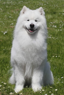 IBLBTF04436489 Samoyed, male dog, 6 years, North Rhine-Westphalia, Germany, Europe