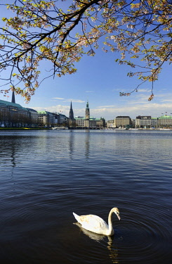 IBLCOF02312819 Mute swan in spring, Inner Alster Lake, or lake Binnenalster, Hamburg, Germany, Europe