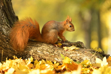 IBLKKP04072911 Red Squirrel (Sciurus vulgaris) on a tree in autumn, Saxony, Germany, Europe