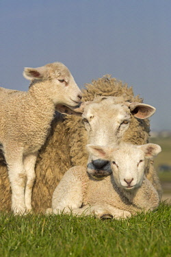 IBLNAO04351664 Domestic sheep with lambs, Westerheversand, Westerhever, Eiderstedt, North Frisia, Schleswig-Holstein, Northern Germany, Germany, Europe