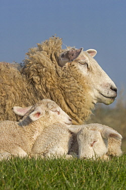 IBLNAO04351665 Domestic sheep with lambs, Westerheversand, Westerhever, Eiderstedt, North Frisia, Schleswig-Holstein, Northern Germany, Germany, Europe