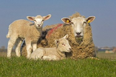 IBLNAO04351684 Domestic sheep with lambs, Westerheversand, Westerhever, Eiderstedt, North Frisia, Schleswig-Holstein, Northern Germany, Germany, Europe