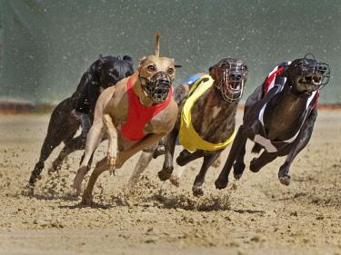 IBLNAO04500700 Greyhound race, European championship 2015, Hunstetten, Germany, Europe