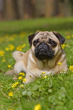IBLNAO04516654 Pug in wild flower meadow, Schleswig-Holstein, Germany, Europe