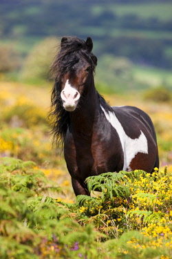 IBLPSA04355843 Dartmoor Hill Highland Pony, brown white spotted, stallion, blooming heather, moorland, Dartmoor National Park, Devon, United Kingdom, Europe
