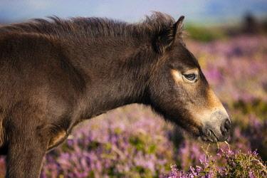 IBLPSA04355875 Exmoor Pony eating, foal grazing, blooming heather, eideandschaft, Exmoor National Park, Somerset, England, United Kingdom, Europe