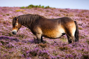 IBLPSA04355887 Exmoor Pony, Blooming heather, moorland, Exmoor National Park, Somerset, England, United Kingdom, Europe