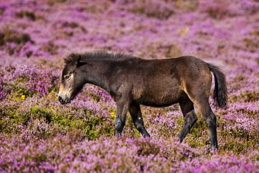 IBLPSA04355894 Exmoor Pony, foal, blooming heather, Heideandschaft, Exmoor National Park, Somerset, England, United Kingdom, Europe