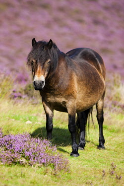 IBLPSA04355897 Exmoor Pony, Blooming heather, moorland, Exmoor National Park, Somerset, England, United Kingdom, Europe