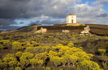 IBLIMU04381088 Molino Viejo, windmill in landscape with flowering Berodes (Kleinia Nerifolia), Yaiza, Lanzarote, Canary Islands, Spain, Europe