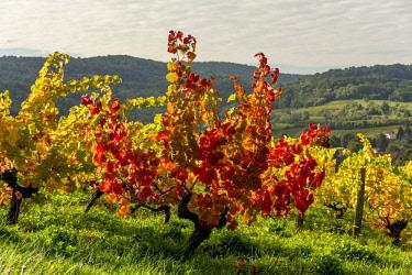 IBLBJA04723927 Vineyards in autumn, near Arbois city, Jura department, Bourgogne-Franche-ComtE', France, Europe