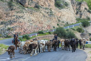 AM01329 Armenia, Areni, shepherds herding cattle through town