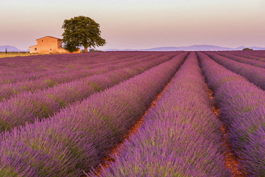FVG032251 Sunset in the lavander fields in Valensole, Provence, France
