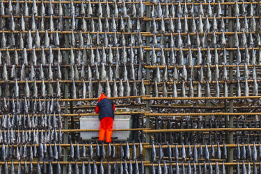 FVG036461 Rows of cod to dry, Henningsvaer, Lofoten Island, Norway, Europe