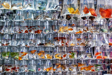 CH11635 Tropical fish for sale in the fish market, in the Mong Kok District, Kowloon, Hong Kong, S.A.R., China.