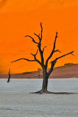AF31HLL0037 Africa, Namibia, Sossusvlei. Dead Acacia Trees in the White Clay Pan at Deadvlei in the Morning Light