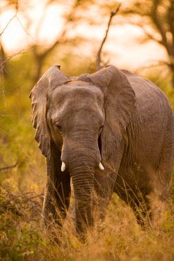 AF42SWS0051 African Elephant (Loxodonta africana), Sabi Sand Reserve, Mpumalanga, South Africa