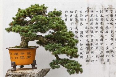 AS07AJE0464 Bonsai tree and ancient calligraphy on white wall, Bio Family Bonsai Garden, She County, China
