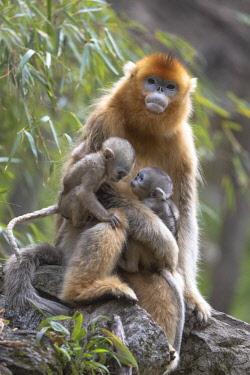 AS07EGO0042 China, Shaanxi Province, Foping National Nature Reserve. Golden snub-nosed monkey (Rhinopithecus roxellana, endangered). Female monkey sitting with two newborns.