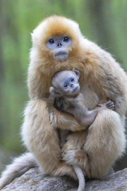 China, Shaanxi Province, Foping National Nature Reserve. Golden snub-nosed monkey (Rhinopithecus roxellana, endangered). A juvenile female holds a newborn close.
