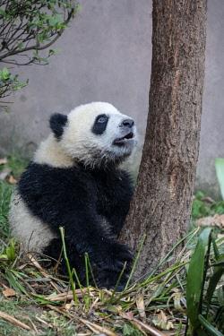 AS07EGO0108 China, Sichuan Province, Chengdu, Chengdu Research Base of Giant Panda Breeding (Ailuropoda melanoleuca, endangered). Young giant panda exploring its compound.