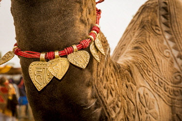 AS10AJN0081 India, Rajasthan. Nagaur, Nagaur Cattle Fair, camel with decorative shaving