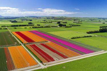 AU02DWA9889 Aerial of colorful tulip fields, Edendale, Southland, South Island, New Zealand.