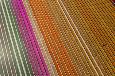 AU02DWA9891 Aerial of workers in colorful tulip fields, Edendale, Southland, South Island, New Zealand.