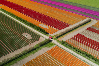 AU02DWA9894 Aerial of colorful tulip fields, Edendale, Southland, South Island, New Zealand.