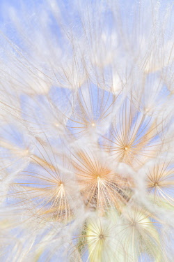 CN02BJY0559 Canada, British Columbia. Yellow salsify flower seeds close-up