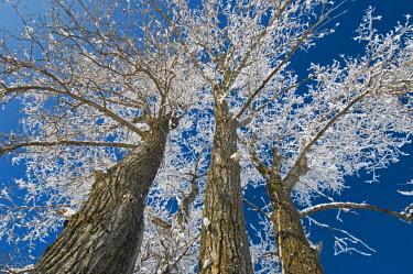 CN03BJY0175 Canada, Manitoba, Dugald. Hoarfrost on cottonwood tree