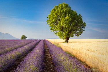 EU09BJN2015 Colorful lavender and wheat fields along the Valensole Plateau, Provence, France