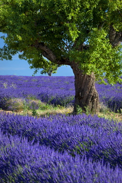 EU09BJN2021 Lone tree in field of purple lavender near Valensole, Provence, France