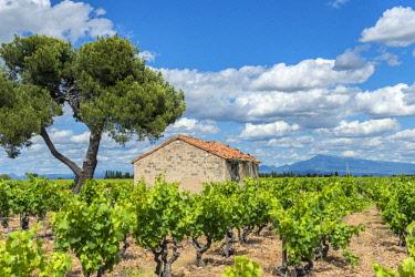 EU09JEN0411 Vineyard, Chateauneuf du Pape, Vaucluse department, Provence-Alpes-Cote d'Azur, France