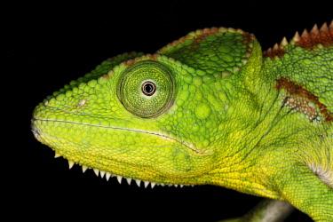NA02AJE0600 Malagasy giant chameleon or Oustalets's chameleon, Furcifer oustaleti, native to Madagascar