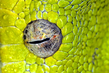 NA02AJE0629 Green tree python eyeball, Morelia viridis
