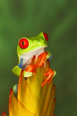 NA02AJE0694 Red-eyed Tree frog, Agalychnis callidryas, native to Mexico south to Costa Rica and Columbia