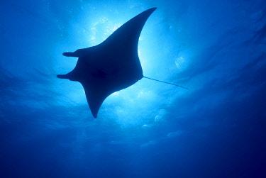 OC18SWS0009 Manta Ray (Manta alfredi), Island of Yap, Micronesia