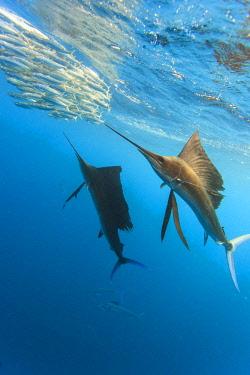 SA13SWS0693 Sailfish (Istiophorus albicans) feeding on Brazilian Sardines (Sardinella brasiliensis) about 10 miles offshore from Isla Mujeres, Yucatan Peninsula, Mexico