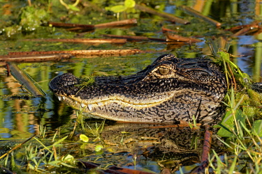 US10AJE0547 American alligator, Alligator mississippiensis, Ritch Grissom Memorial Wetlands, Florida.