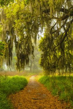 US10AJE0578 Footpath beneath live oaks draped in Spanish moss at sunrise, Circle B Bar Reserve, Polk County, near Lakeland, Florida.