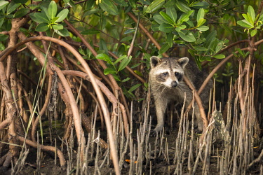 us10jwh0095 A racoon searches for food in the mangrove roots along Tampa Bay, Florida.