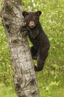 US24AJE0071 Black bear cub in tree, Ursus americanus Minnesota