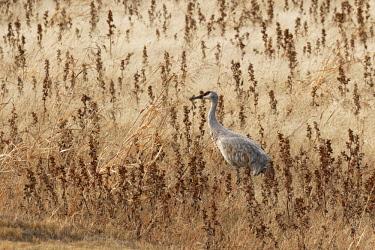 US32AJE0100 Sandhill Crane, Bosque Del Apache National Wildlife Refuge, New Mexico, Grus canadensis