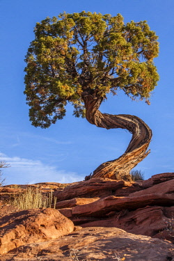 us45mqu0008 USA, Utah, Moab.  Dead Horse Point State Park Twisted Juniper.