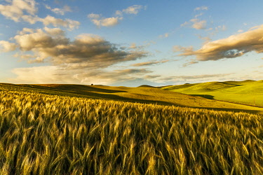 US48AJE0217 Contoured hills of wheat in late afternoon light, Palouse region of Eastern Washington State. USA